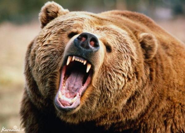 تعبیر-خواب-خرس-و-کشتن-خرس-تعبیر-دیدن-خرس-قطبی-در-خواب تعبیر خواب