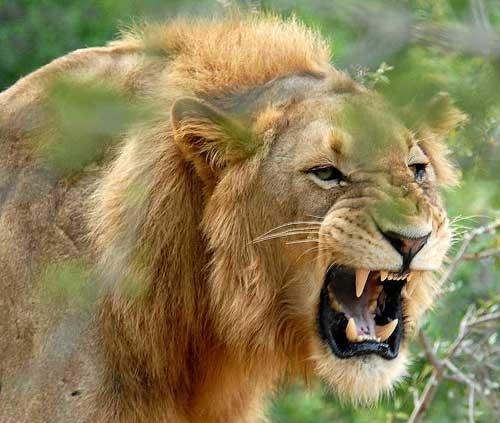 تعبییر-خواب-شیر-جنگل-و-غرش-شیر-حمله-شیر-در-خواب-تعبیرش-چیست تعبیر خواب