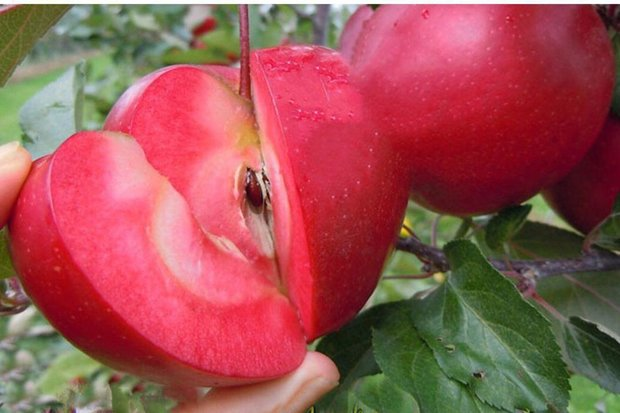 تعبیر-خواب-سیب-و-سیب-کرم-زده-تعبیر-سیب-روی-درخت-در-خواب تعبیر خواب