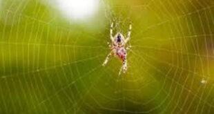 تعبیر-خواب-عنکبوت-و-تار-انداختن-عنکبوت-تعبیر-نیش-زدن-عنکبوت-در-خواب-310x165 تعبیر خواب