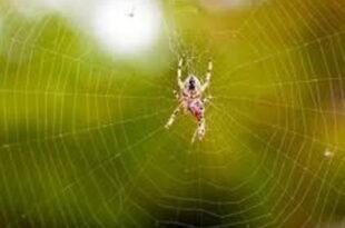 تعبیر-خواب-عنکبوت-و-تار-انداختن-عنکبوت-تعبیر-نیش-زدن-عنکبوت-در-خواب-310x205 تعبیر خواب
