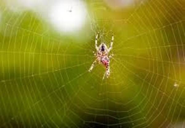 تعبیر-خواب-عنکبوت-و-تار-انداختن-عنکبوت-تعبیر-نیش-زدن-عنکبوت-در-خواب تعبیر خواب